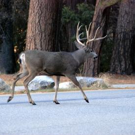 Yosemite Tour Groups - Deer